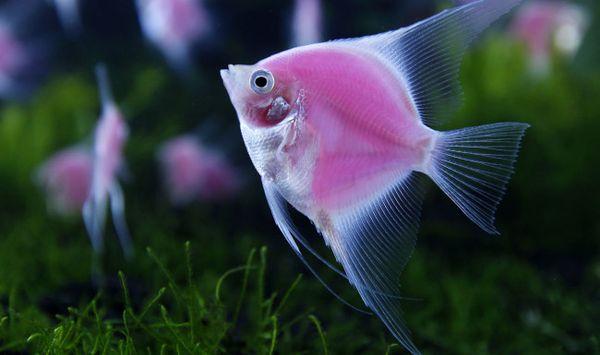 К чему снятся аквариумные рыбки толкование по сонникам