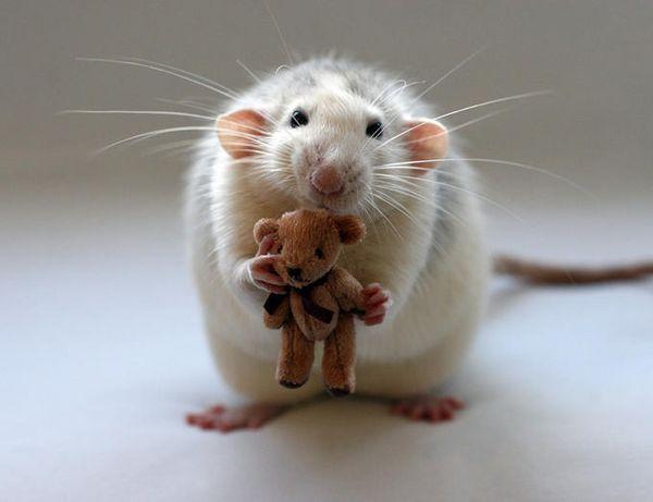 Люди, рожденные в год Крысы, очаровывают и отталкивают одновременно