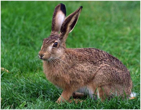 К чему снятся зайцы