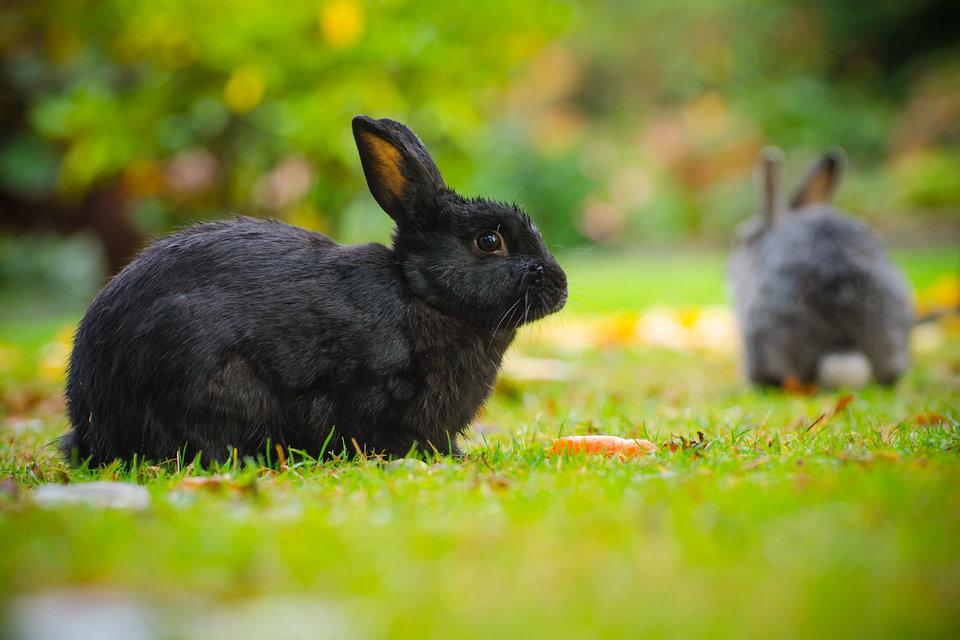 Черные кролики предвещают неприятности и хлопоты