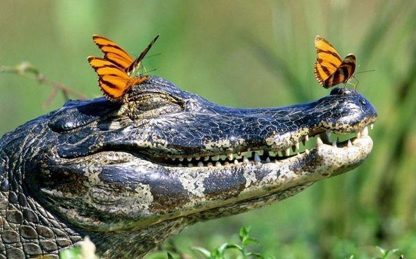 Во многих сонниках крокодил ассоциируется с хитрым соперником