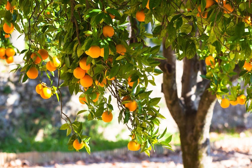 Мандариновое дерево во сне – предвестник гармонии в отношениях