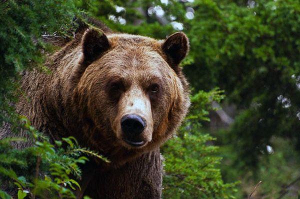 Дружба с диким медведем символизирует сильное раскаяние