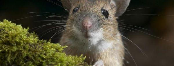 Увидеть мышку во сне – к предстоящим домашним закупкам