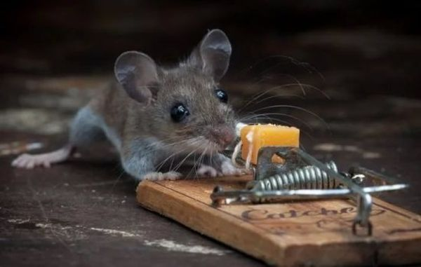 Если мышь попала в ловушку - в жизни на сновидца расставляют ловушки завистливые люди