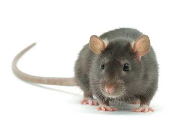 Если крыса приснилась женщине - это означает болезни
