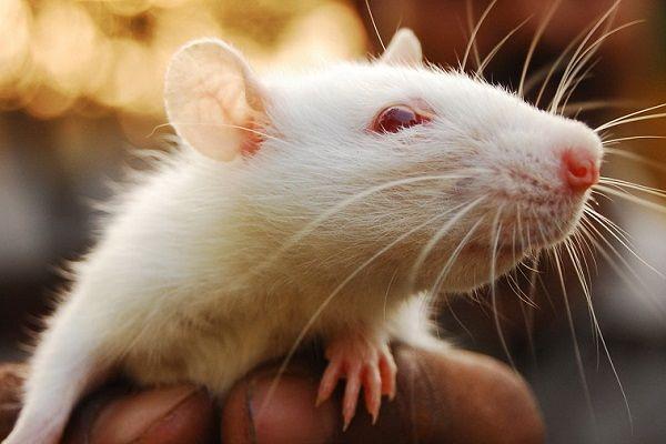 Крыса во сне напоминает о патологии, которая мучает многие годы