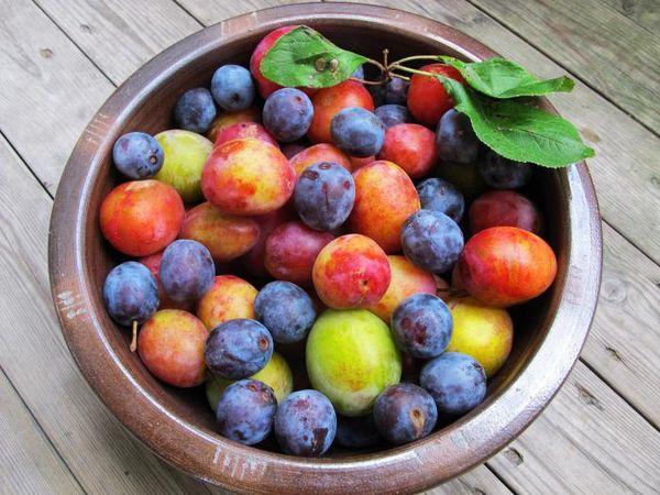 Сонник сливовое дерево с крупными плодами