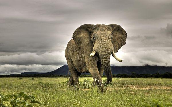 Сновидение со слоном символизирует страх и опасность
