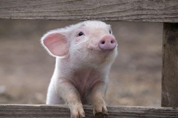 Свинья во сне трактуется как необходимость саморазвития
