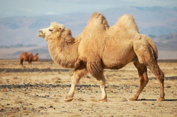 Бредущий по пустыне верблюд - к знакомству с новым интимным партнером
