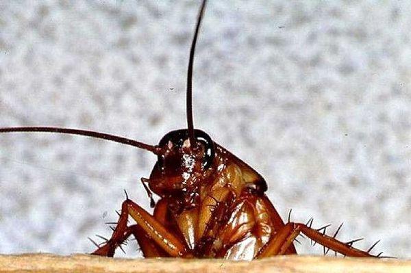 Таракан у большинства людей вызывает неприятные ощущения