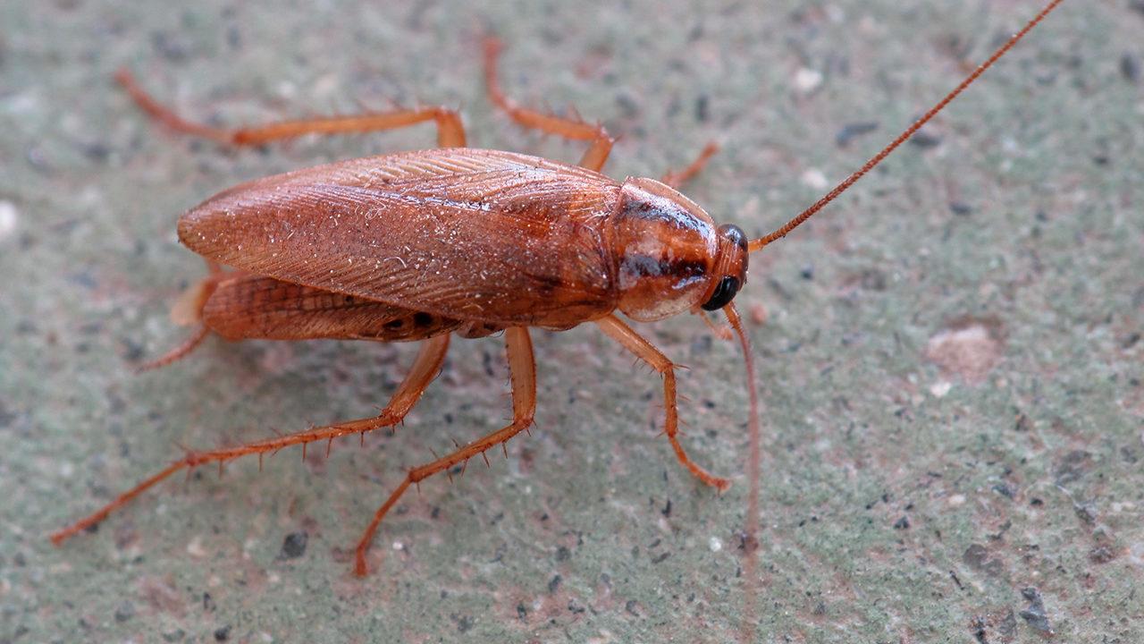 Рыжий таракан – представитель семейства Ectobiidae