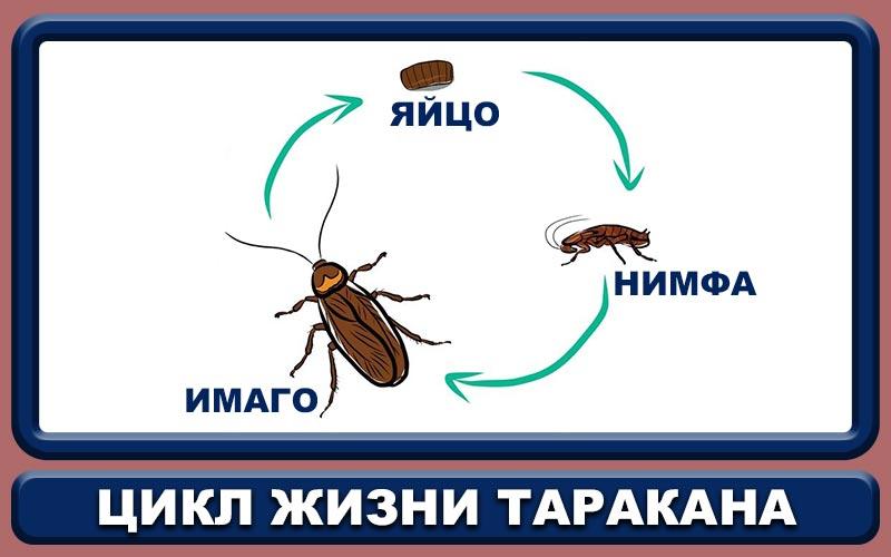 Жизненный цикл рыжего таракана