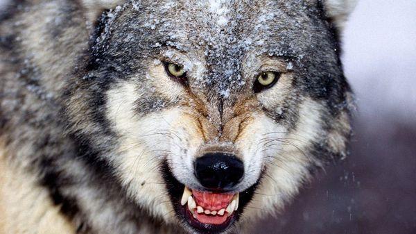 Волк во сне – это очень могущественный и хитрый враг наяву