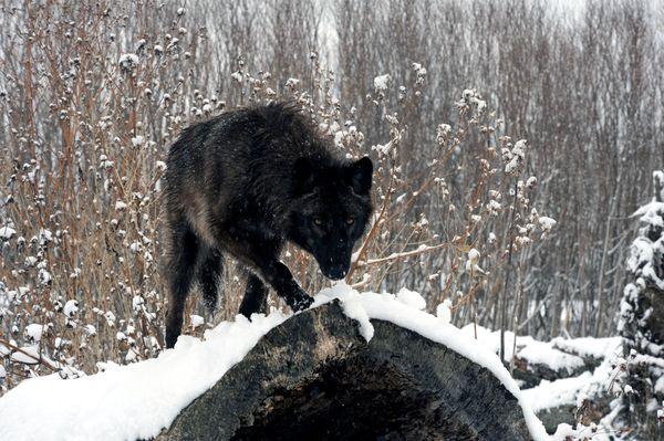 Черный волк чаще предупреждает о грозном могущественном неприятеле