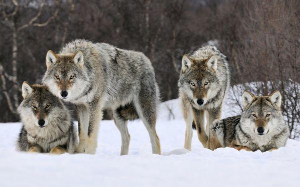 Стая волков трактуется как наличие сговора группы людей относительно спящего